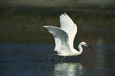 Reddish Egret (Egretta rufescens) white color morph about to take flight, Florida  -  Tom Vezo
