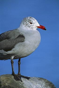 Heermann's Gull (Larus heermanni) adult in non-breeding plumage, Puerto Penasco, Mexico  -  Tom Vezo