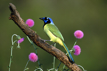 Green Jay (Cyanocorax yncas) perching, Rio Grande Valley, Texas  -  Tom Vezo