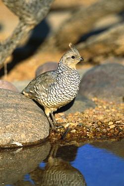 Scaled Quail (Callipepla squamata) at water hole, Green Valley, Arizona  -  Tom Vezo