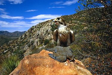 Prairie Falcon (Falco mexicanus) with Mourning Dove (Streptopelia decipiens), Arizona  -  Tom Vezo