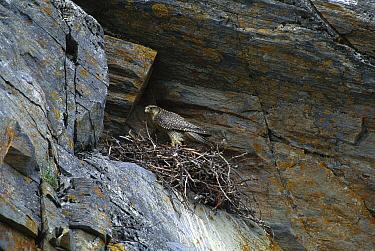 Gyrfalcon (Falco rusticolus) parent at nest built under rock overhang, Nome, Alaska  -  Tom Vezo
