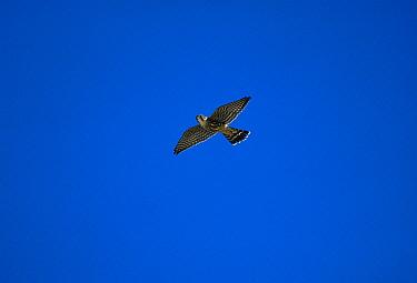 Merlin (Falco columbarius) flying, Cape May, New Jersey  -  Tom Vezo