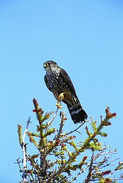Merlin (Falco columbarius) perching in tree, Churchill, Manitoba, Canada  -  Tom Vezo