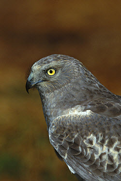 Northern Harrier (Circus cyaneus) portrait of male, Long Island, New York  -  Tom Vezo