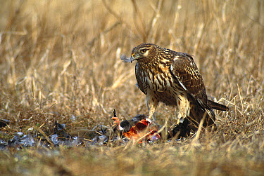 Northern Harrier (Circus cyaneus) female feeding on prey, Long Island, New York  -  Tom Vezo