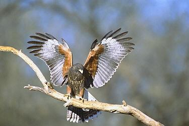 Harris' Hawk (Parabuteo unicinctus) perching on branch with wings spread, southeast Arizona  -  Tom Vezo