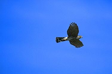 Sharp-shinned Hawk (Accipiter striatus) flying, Cape May, New Jersey  -  Tom Vezo