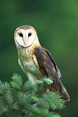 Barn Owl (Tyto alba) portrait, Hudson Valley Raptor Center, New York  -  Tom Vezo