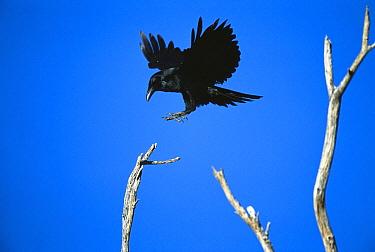 Common Raven (Corvus corax) landing on perch, Tucson, Arizona  -  Tom Vezo