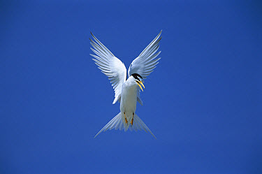 Least Tern (Sterna antillarum) flying, Long Island, New York  -  Tom Vezo
