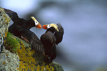 Tufted Puffin (Fratercula cirrhata) pair on rock interacting, St Paul Island, Pribilof Islands, Alaska  -  Tom Vezo