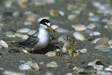 Least Tern (Sterna antillarum) parent on beach with chick, Long Island, New York  -  Tom Vezo