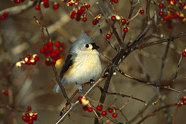 Tufted Titmouse (Baeolophus bicolor) perching in tree, Long Island, New York  -  Tom Vezo