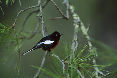 Painted Redstart (Myioborus pictus) male perching in Pine tree, Santa Catalina Mountains, Tucson, Arizona  -  Tom Vezo