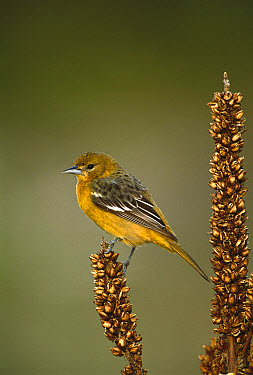 Baltimore Oriole (Icterus galbula) female on perch, Long Island, New York  -  Tom Vezo