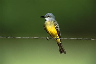 Tropical Kingbird (Tyrannus melancholicus) perching on wire, Patagonia, Arizona  -  Tom Vezo