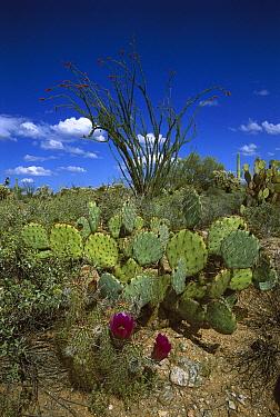 Hedgehog Cactus (Echinocereus engelmannii), Prickly Pear (Opuntia sp), and giant Saguaro (Carnegiea gigantea) cati in Sonoran Desert, Arizona  -  Tom Vezo