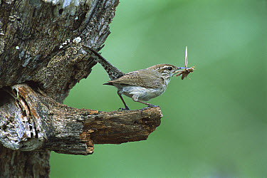 Bewick's Wren (Thryomanes bewickii) perching with grasshopper in beak, Rio Grande Valley, Texas  -  Tom Vezo