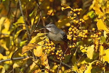Northern Mockingbird (Mimus polyglottos) in Bittersweet bush, Long Island, New York  -  Tom Vezo