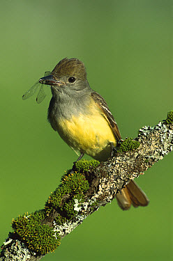 Great Crested Flycatcher (Myiarchus crinitus) with insect it has caught in its beak, perching, Adirondack Mountains, New York  -  Tom Vezo
