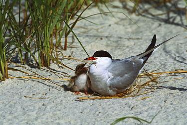 Common Tern (Sterna hirundo) adult and chick in nest on ground, Long Island, New York  -  Tom Vezo