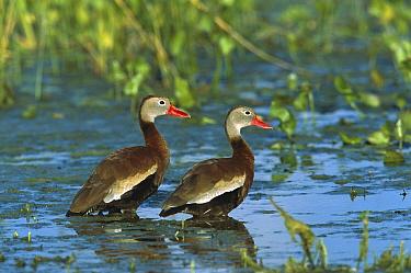 Black-bellied Whistling Duck (Dendrocygna autumnalis) pair wading, Rio Grand Valley, Texas  -  Tom Vezo