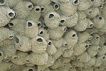 American Cliff Swallow (Petrochelidon pyrrhonota) colony of mud nests, Bear River, Utah  -  Tom Vezo