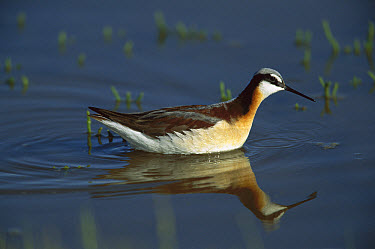 Wilson's Phalarope (Phalaropus tricolor) wading and foraging for food, Bear River, Utah  -  Tom Vezo