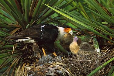 Northern Caracara (Caracara cheriway) parent feeding chicks in nest, Rio Grande Valley, Texas  -  Tom Vezo