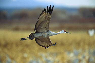 Sandhill Crane (Grus canadensis) adult flying, Bosque del Apache National Wildlife Refuge, New Mexico  -  Tom Vezo