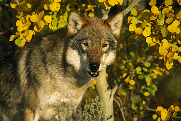 Timber Wolf (Canis lupus) portrait among aspen leaves, Teton Valley, Idaho  -  Tom Vezo