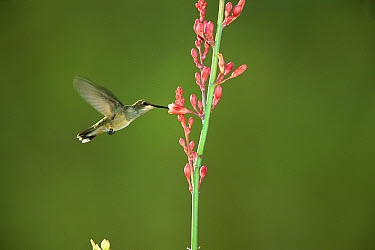 Black-chinned Hummingbird (Archilochus alexandri) female feeding at flower, Green Valley, Arizona  -  Tom Vezo