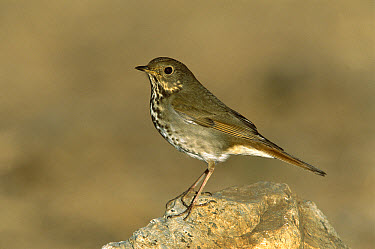 Hermit Thrush (Catharus guttatus) adult perching on rock, Santa Rita Mountains, Arizona  -  Tom Vezo