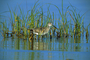 Willet (Tringa semipalmata) wading amid reeds in wetland, South Padre Island, Texas  -  Tom Vezo