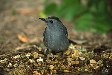 Gray Catbird (Dumetella carolinensis) standing on pebbles at waters edge drinking, Rio Grande Valley, Texas  -  Tom Vezo