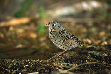 Lincoln's Sparrow (Melospiza lincolnii) perched on dead branch among ground cover, Rio Grande Valley, Texas  -  Tom Vezo