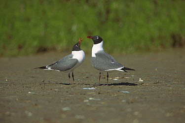 Laughing Gull (Leucophaeus atricilla) courtship display, South Padre Island, Texas  -  Tom Vezo
