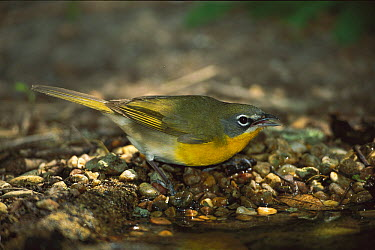 Yellow-breasted Chat (Icteria virens), Rio Grande Valley, Texas  -  Tom Vezo