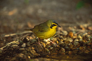 Kentucky Warbler (Geothlypis formosa) male at drinking pool, Rio Grande Valley, Texas  -  Tom Vezo