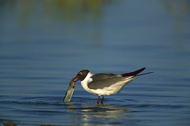 Laughing Gull (Leucophaeus atricilla) with a fish it has caught, South Padre Island, Texas  -  Tom Vezo
