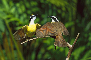 Great Kiskadee (Pitangus sulphuratus) male and female in courtship display, Costa Rica  -  Tom Vezo