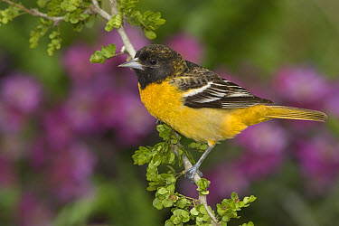 Baltimore Oriole (Icterus galbula) juvenile male perched on a branch, Rio Grande Valley, Texas  -  Tom Vezo