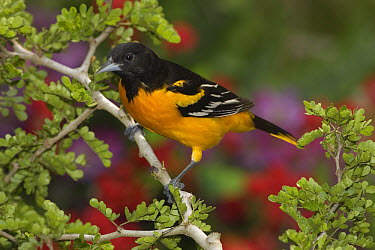 Baltimore Oriole (Icterus galbula) male perched on a branch, Rio Grande Valley, Texas  -  Tom Vezo
