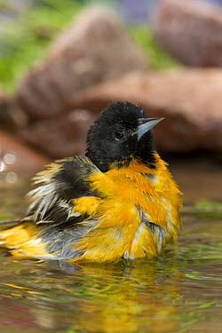 Baltimore Oriole (Icterus galbula) male bathing, Rio Grande Valley, Texas  -  Tom Vezo