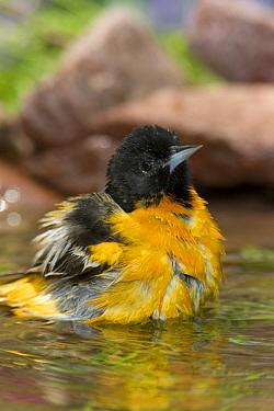 Baltimore Oriole (Icterus galbula) male bathing, Rio Grande Valley, Texas  -  Tom Vezo