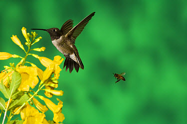Black-chinned Hummingbird (Archilochus alexandri) male with a bee feeding at yellow flowers, Green Valley, Arizona  -  Tom Vezo