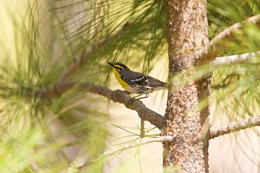 Grace's Warbler (Setophaga graciae) male perched in tree, White Mountains, Arizona  -  Tom Vezo