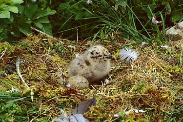 Herring Gull (Larus argentatus) chick in nest with egg, Newfoundland, Canada  -  Tom Vezo