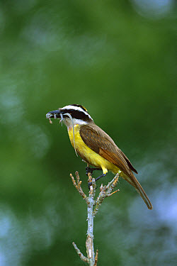Great Kiskadee (Pitangus sulphuratus) with lizard, South Padre Island, Texas  -  Tom Vezo